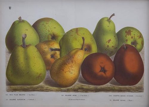 A Collection of Eight Chromolithographs of Pears 9 1/2 x 13 inches.