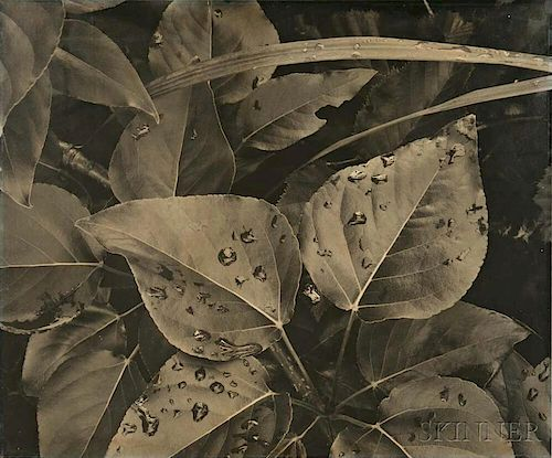 Ansel Adams (American, 1902-1984)      Leaves and Raindrops, Glacier Bay National Monument