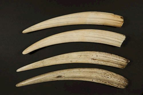 (2 PR) ANTIQUE WALRUS TUSKS