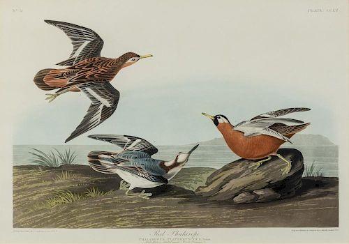AUDUBON, John James (1785-1851) Red Phalarope (Plate CCLV). Phalaropus Platyrhynchus. ca 1835 or later.