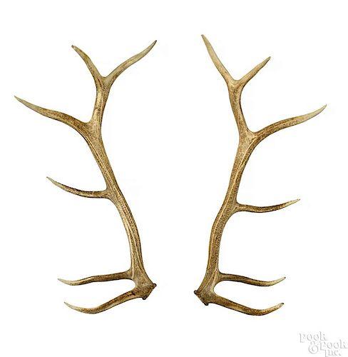 Pair of 6 x 6 elk antlers.