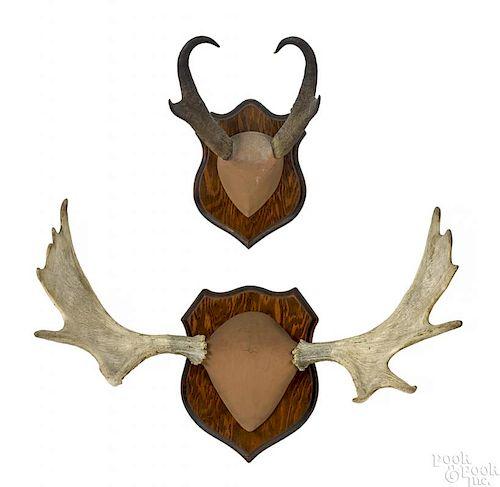 Pair of moose and pronghorn antelope antlers, moos