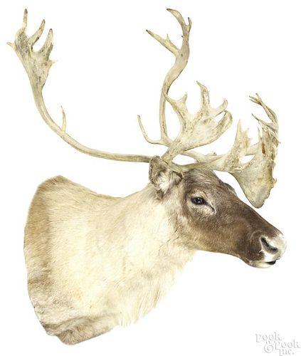 Taxidermy caribou head mount