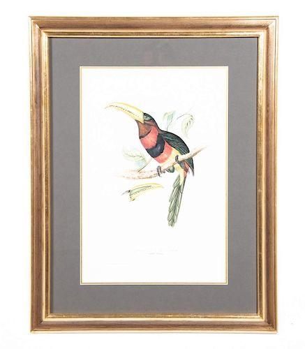 "John Gould, ""Ivory Billed Aracari""  Lithograph"