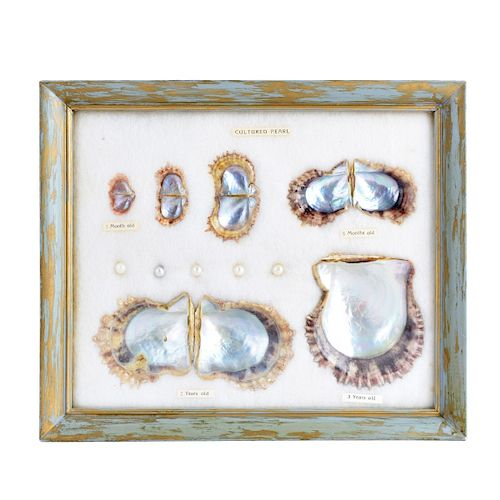 Evolution of the Cultured Pearl in Display