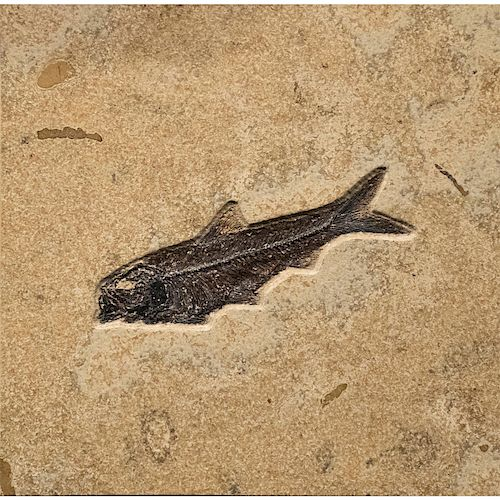 FOSSILIZED EOCENE FISH IN COMBINATION TILE