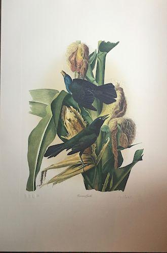Audubon Common Gackle by M. Bertnard Loates