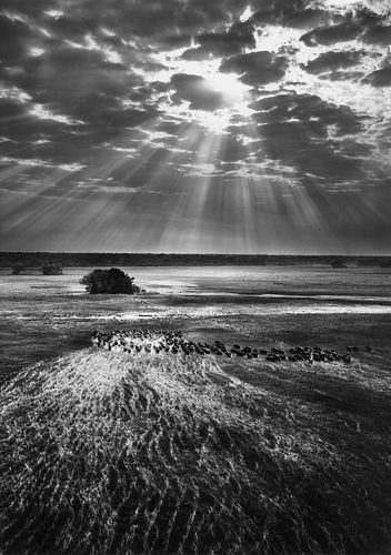Sebastiao Salgado (1944)  - Buffalos, Kafue National Park, Zambia, 2010
