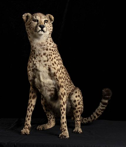 COMPLETE TAXIDERMY OF CHEETAH