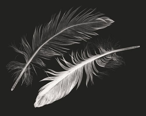 SUZANNE ROSE, Swan and Cygnet Feathers