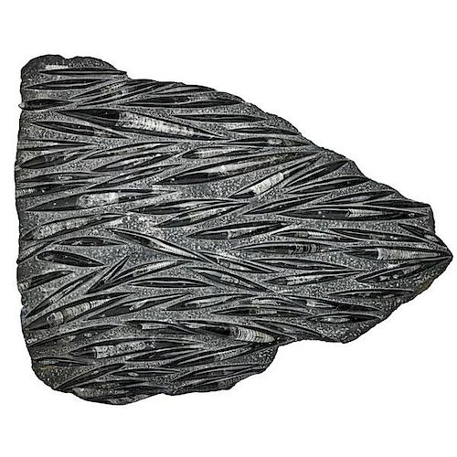 ORTHOCERAS SLAB