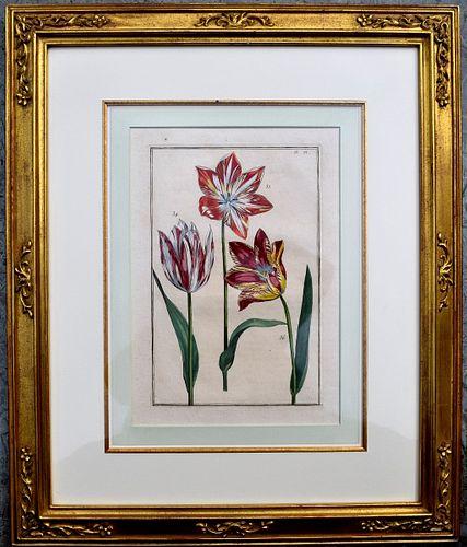 Pair of 18th century framed Tulip botanical engravings