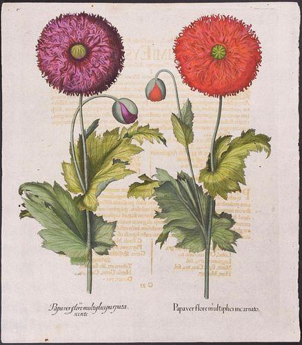Basil Besler Purple and Red Poppies botanical engraving