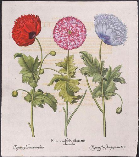 Basil Besler Three Poppies botanical engraving