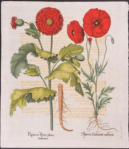 Basil Besler Red Poppies botanical engraving