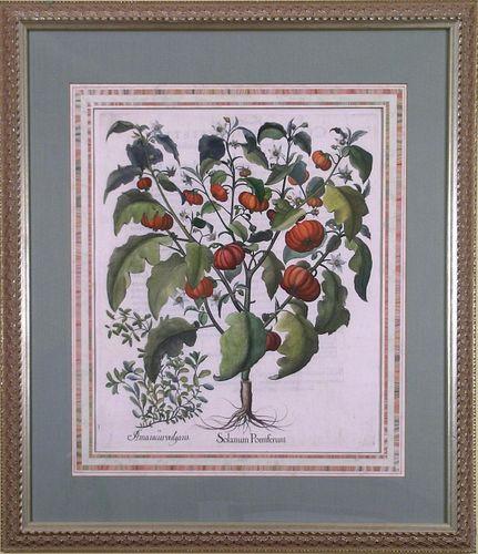 """Solanum Pomiferum.""  (Tomato.)  Framed Copper  Plate Engraving"