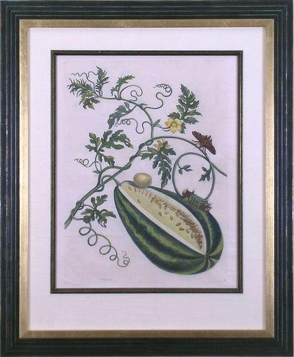 """Plate 15.  Watermelon."" Maria Sibylla Merian"