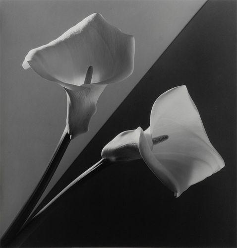 Robert Mapplethorpe (American, 1946-1989) Calla Lilies, 1988