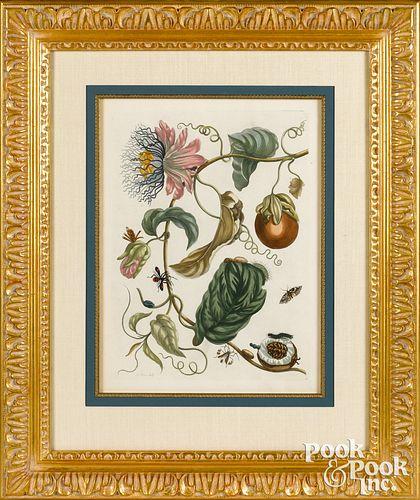 Maria Sibylla Merian plate 21, passion fruit
