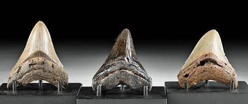Lot of 3 Fossilized Megalodon Teeth