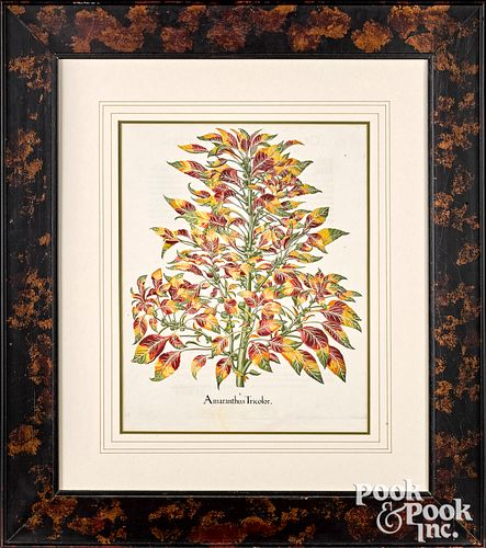 Two Basilius Besler color engraved botanicals