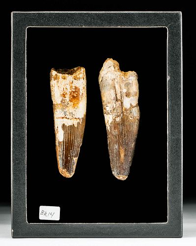 Huge North African Fossilized Spinosaur Teeth (2)