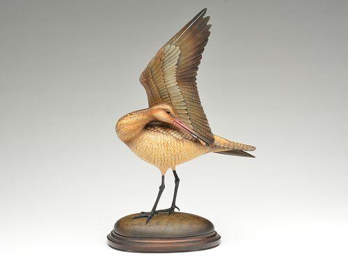 Impressive lifted wing and preening marbled godwit, William Gibian, Onancock, Virginia.