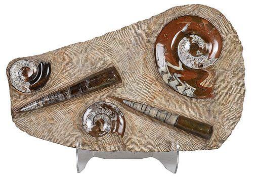 Large Fossilized and Polished Ammonite Specimens