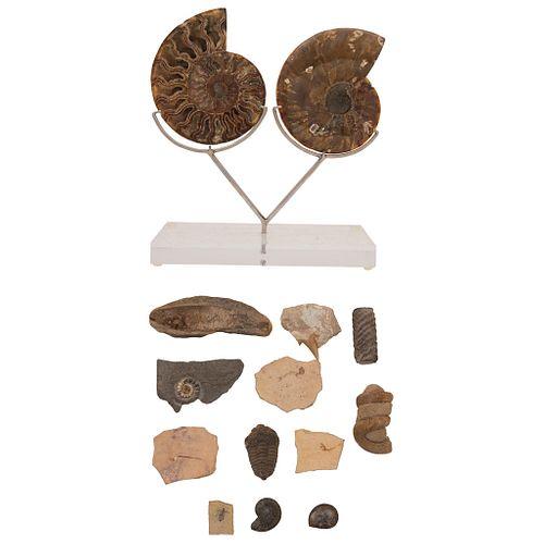 LOTE DE FÓSILES Colección de diferentes fósiles entre los que destaca un ejemplar de Amonita nautilus segmentada en 2 partes 15.7 cm | LOT OF FOSSILS