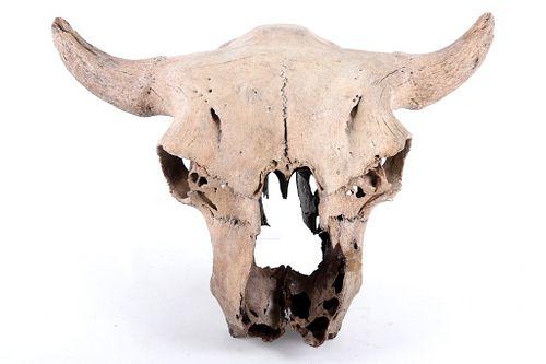 Montana Petrified Bison Occidentalis Skull