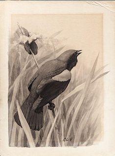 Louis Agassiz Fuertes (1874-1927) Red-Winged Blackbird