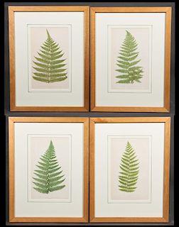 """C.E. Faxon, """"Dicksonia Davallioides,"""" """"Polypodium"""