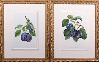 """""""Pond's Seedling,"""" and """"Imperiale Violette,"""" early"""