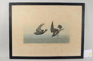 """John J. Audubon """"Least Stormy Petrel"""" Engraving"""