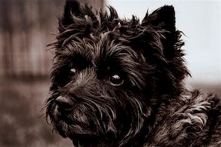 * A Photograph of a Cairn Terrier 9 3/4 x 14 3/4 inches.