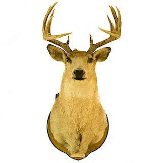 Cabeza de venado. Estados Unidos, siglo XX. Taxidermia. Con base para empotrar. 104 cm de altura de altura.
