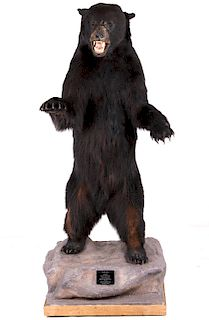 Canadian Full Body Trophy Black Bear Mount