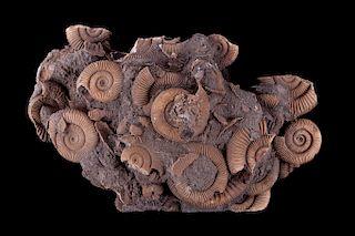 Montana Dactylioceras Ammonite Cluster
