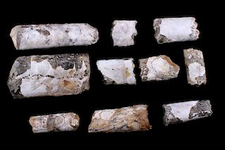 Rare Montana Baculite Fossil Collection