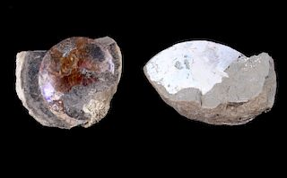 Montana Partial Ammonite Fossils On Rock