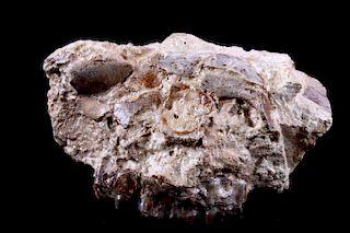 Montana Oreodont Merycoidodon Gracilis Skull