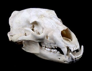 Montana Black Bear Taxidermy Skull