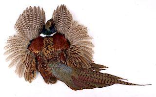 Montana Taken Pheasant Taxidermy Wall Mount