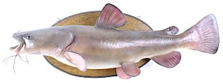 Texas Flathead Catfish Taxidermy Wall Mount