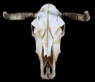 Montana Taxidermy Steer Skull and Horns