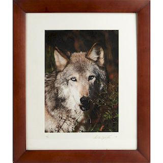 FINE GRAY WOLF PHOTOGRAPHIC PRINT