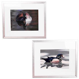 Bárbara Henry. S. XXI. Fotografías a color de pato de frente y perfil. Enmarcados. Presentan detalles de conservación en marco. Pzas: 2