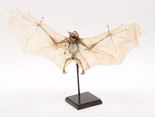Taxidermy Specimen of a Fruit Bat