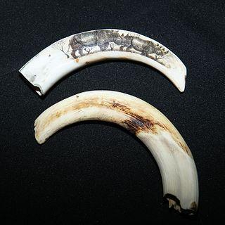 Pig Ivory Tusk