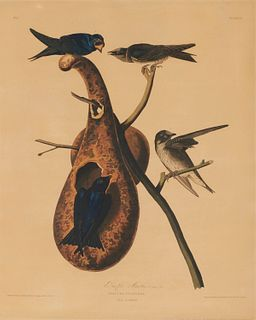 JOHN JAMES AUDUBON, (American, 1785-1851), Purple Martin, hand colored aquatint, plate: 25 1/2 x 20 1/2 in., frame: 42 x 32 in.